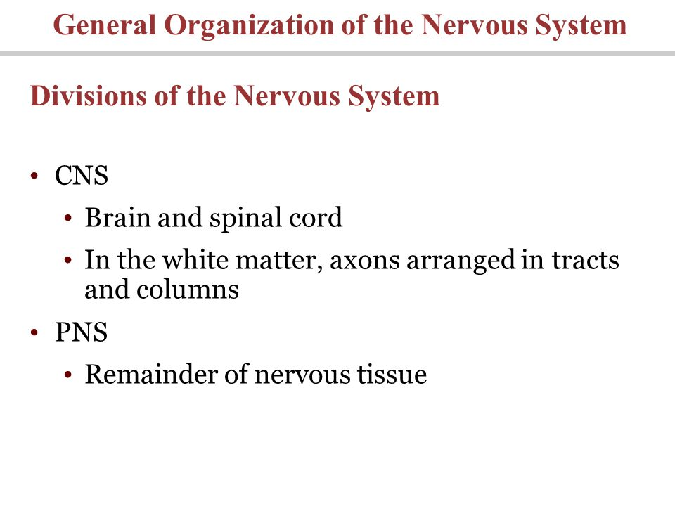 General Organization of the Nervous System