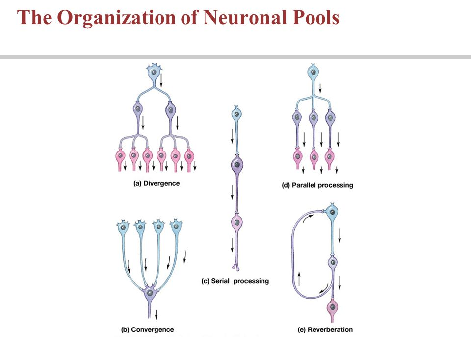 The Organization of Neuronal Pools