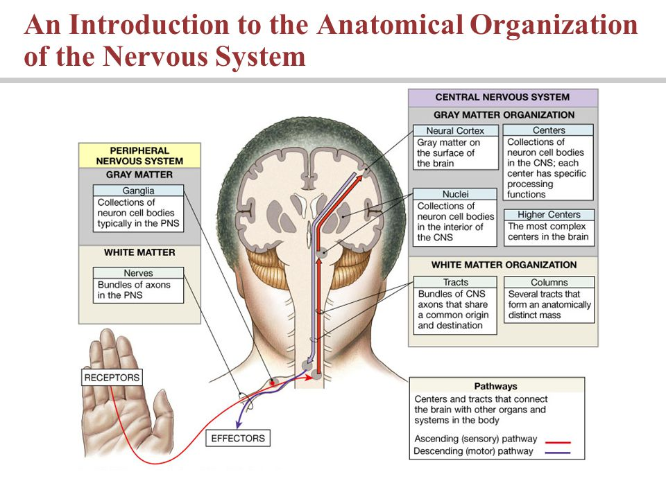 An Introduction to the Anatomical Organization of the Nervous System
