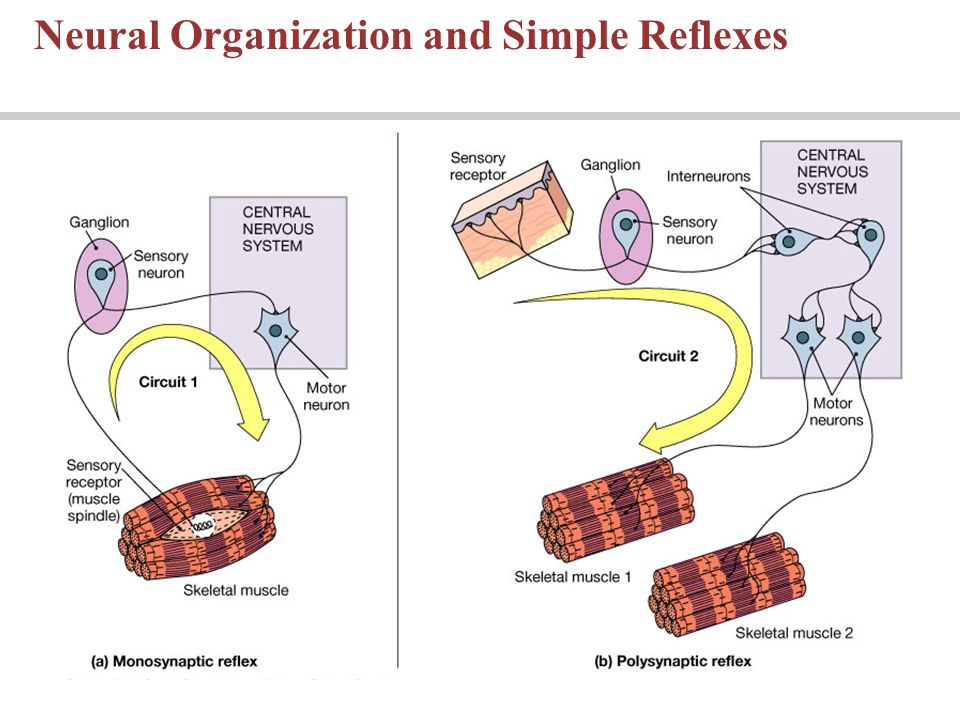 Neural Organization and Simple Reflexes
