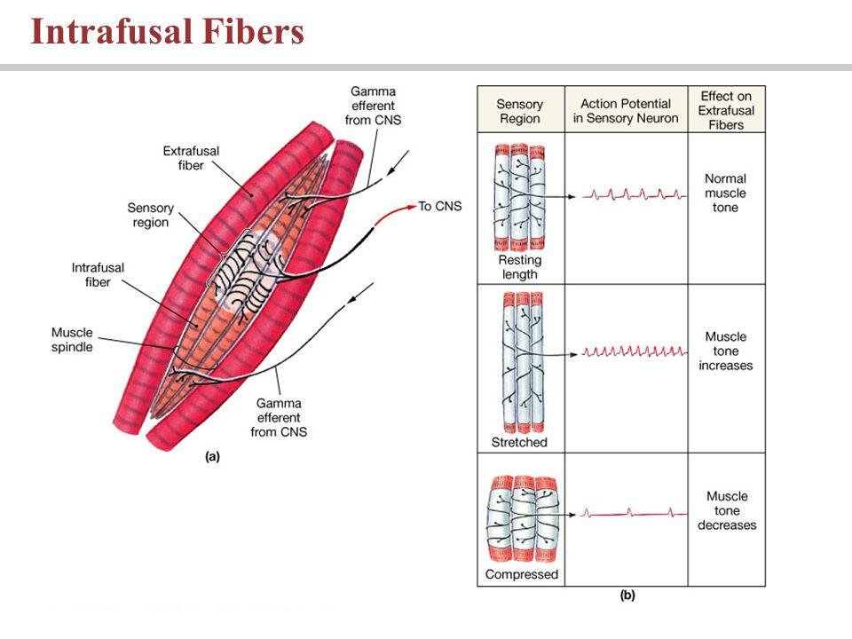 Intrafusal Fibers