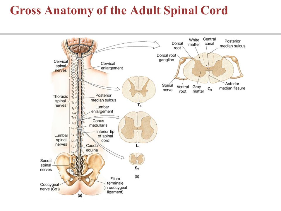 Mouse spinal cord anatomy