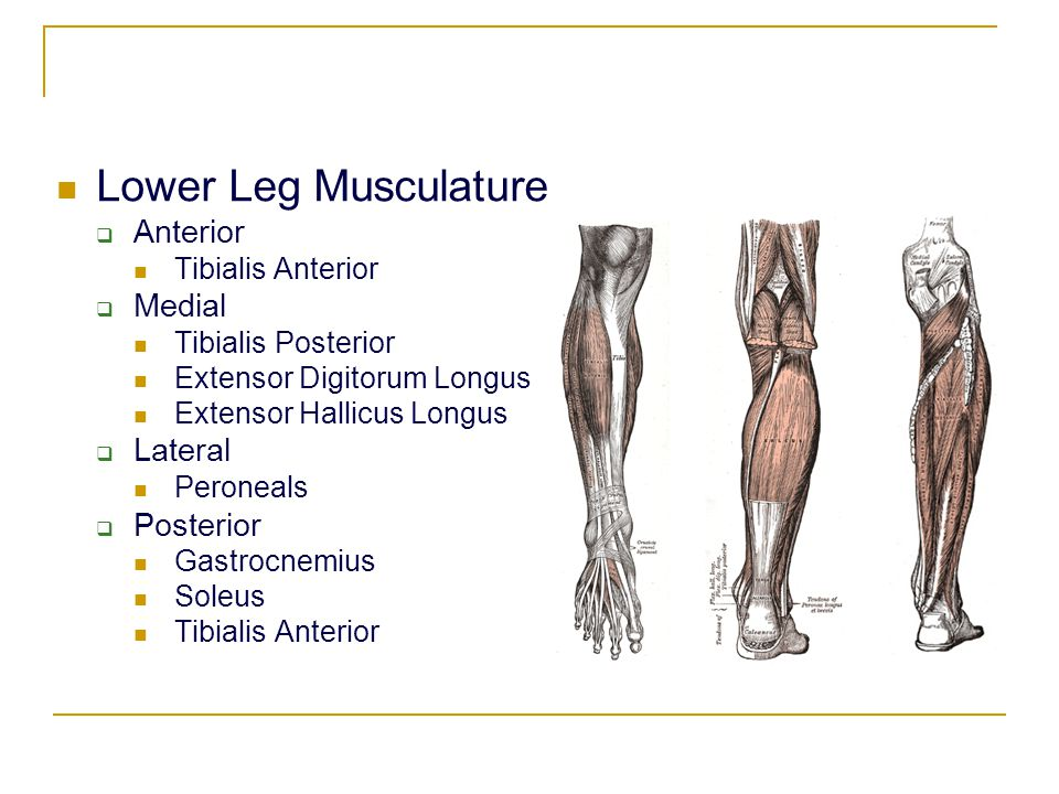 Lower Leg Musculature Anterior Medial Lateral Posterior
