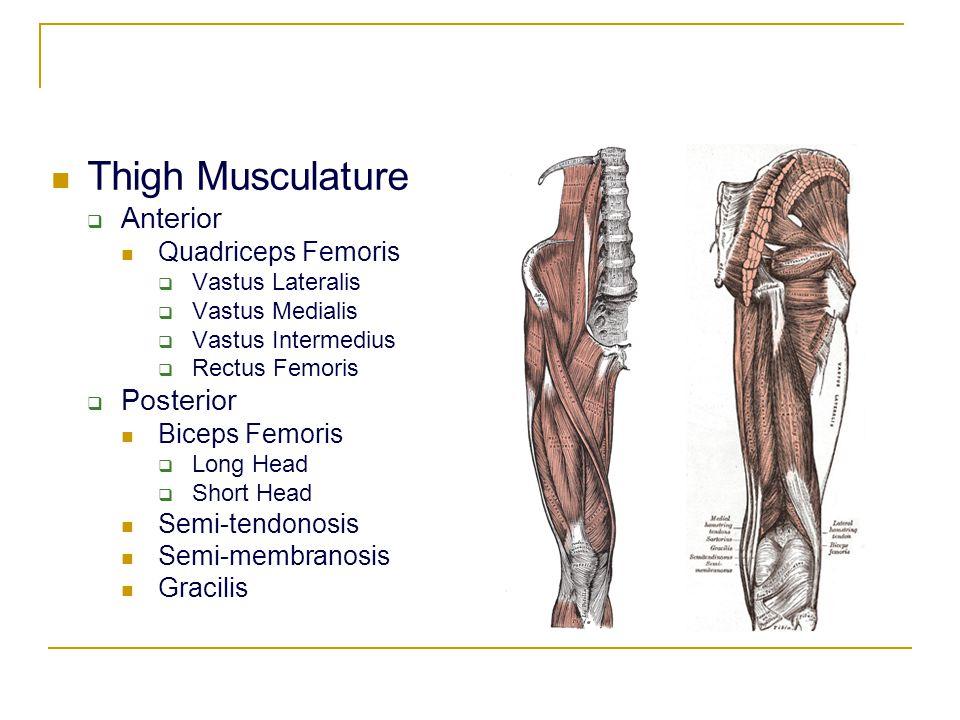 Thigh Musculature Anterior Posterior Quadriceps Femoris Biceps Femoris