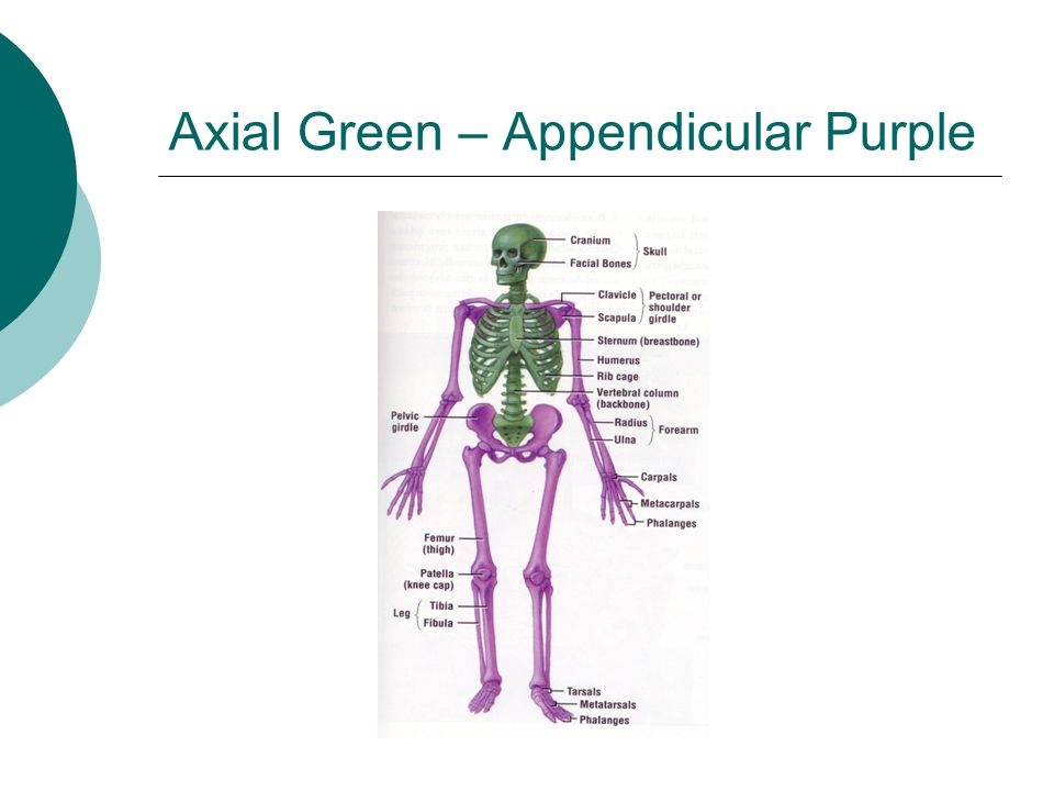 Axial Green – Appendicular Purple