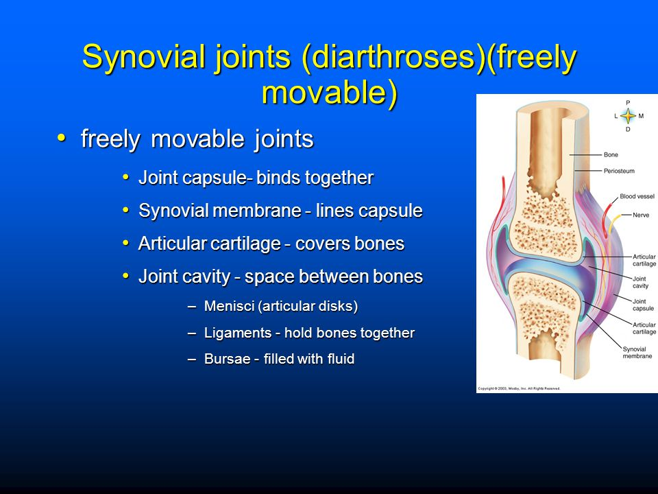 Synovial joints (diarthroses)(freely movable)