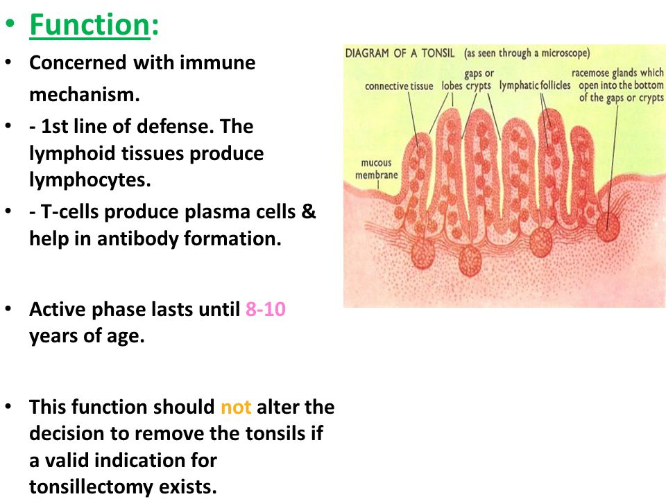 Function: Concerned with immune mechanism.