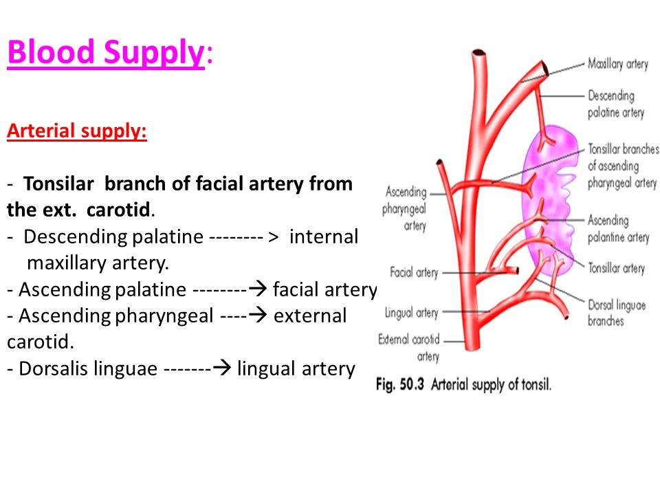 Blood Supply: Arterial supply: - Tonsilar branch of facial artery from the ext.