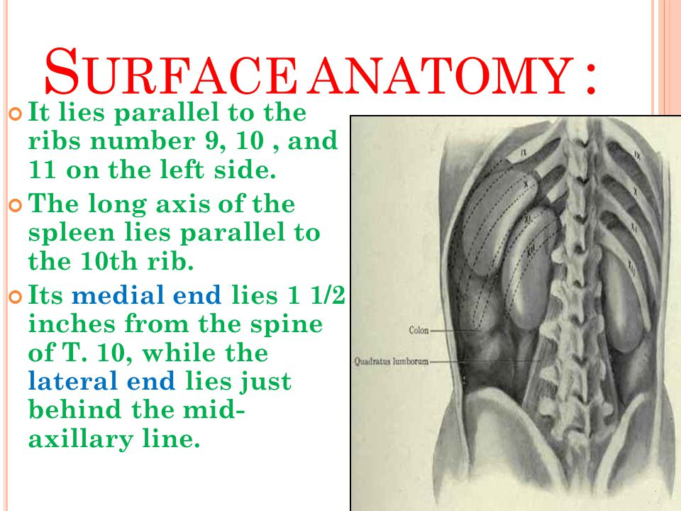 Surface anatomy : It lies parallel to the ribs number 9, 10 , and 11 on the left side.
