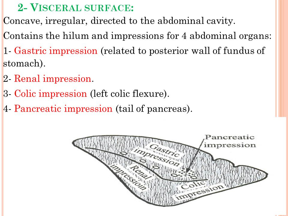 2- Visceral surface: Concave, irregular, directed to the abdominal cavity. Contains the hilum and impressions for 4 abdominal organs: