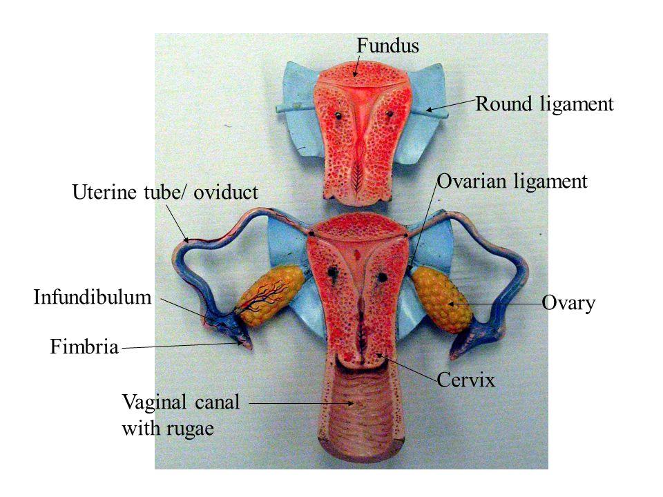Fundus Round ligament. Ovarian ligament. Uterine tube/ oviduct. Infundibulum. Ovary. Fimbria. Cervix.