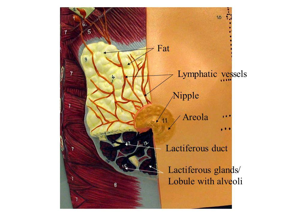 Fat Lymphatic vessels Nipple Areola Lactiferous duct Lactiferous glands/ Lobule with alveoli