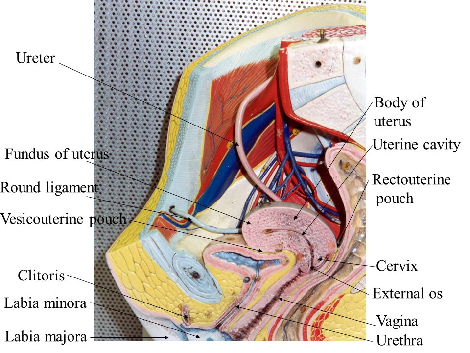 Ureter Body of uterus. Uterine cavity. Fundus of uterus. Rectouterine. pouch. Round ligament. Vesicouterine pouch.