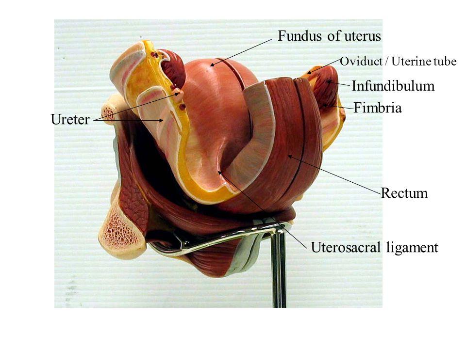 Fundus of uterus Infundibulum Fimbria Ureter Rectum