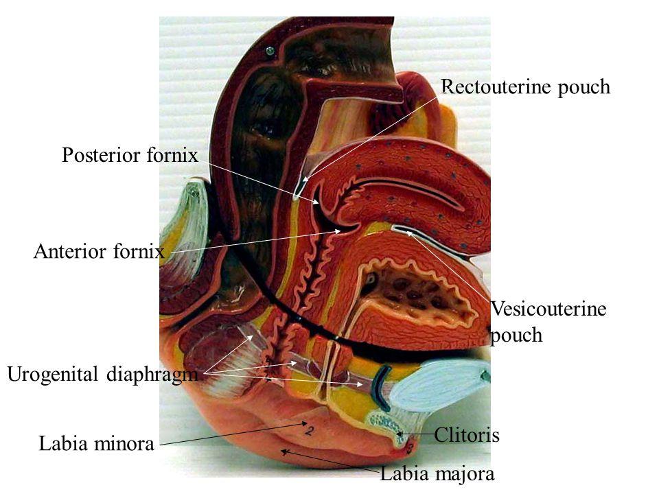 Rectouterine pouch Posterior fornix. Anterior fornix. Vesicouterine pouch. Urogenital diaphragm.