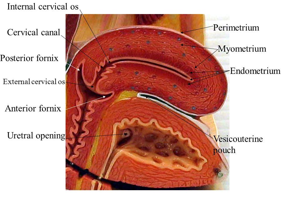 Internal cervical os Perimetrium Cervical canal Myometrium