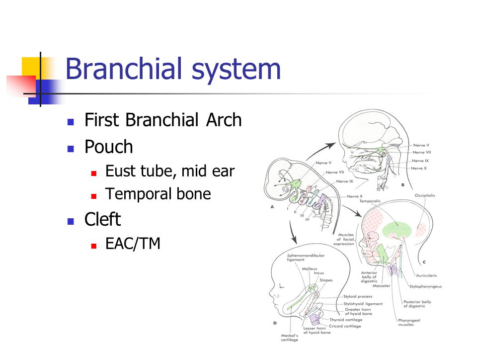 Branchial system First Branchial Arch Pouch Cleft Eust tube, mid ear