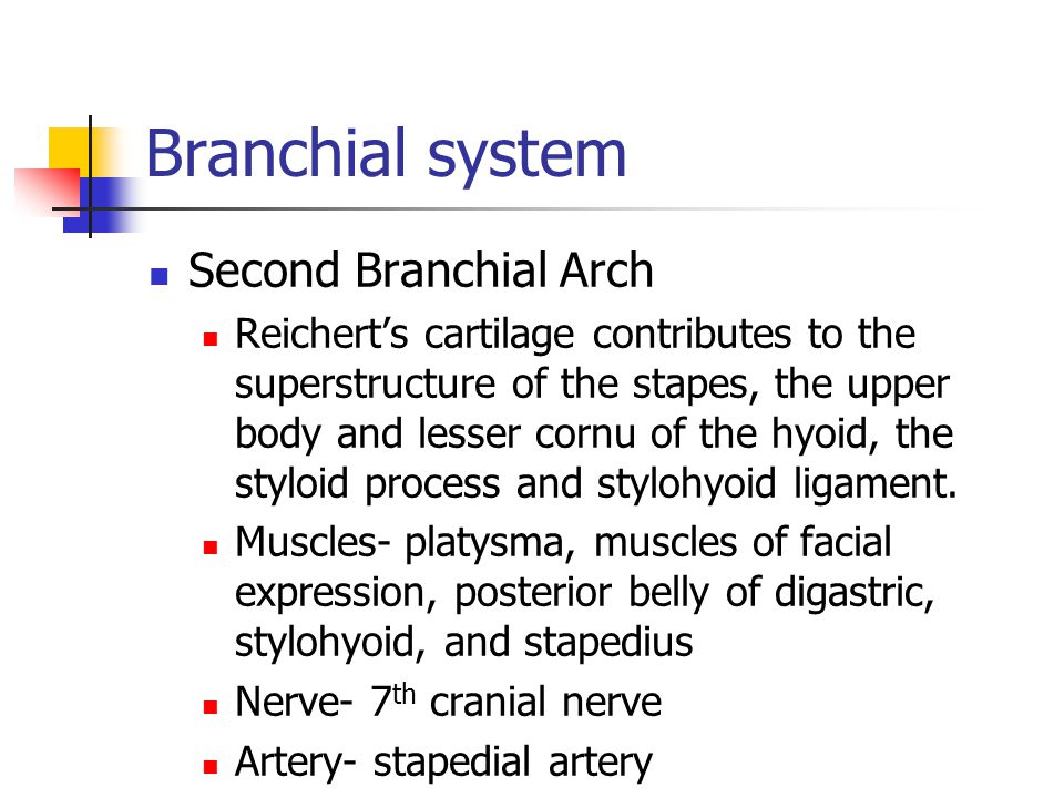 Branchial system Second Branchial Arch