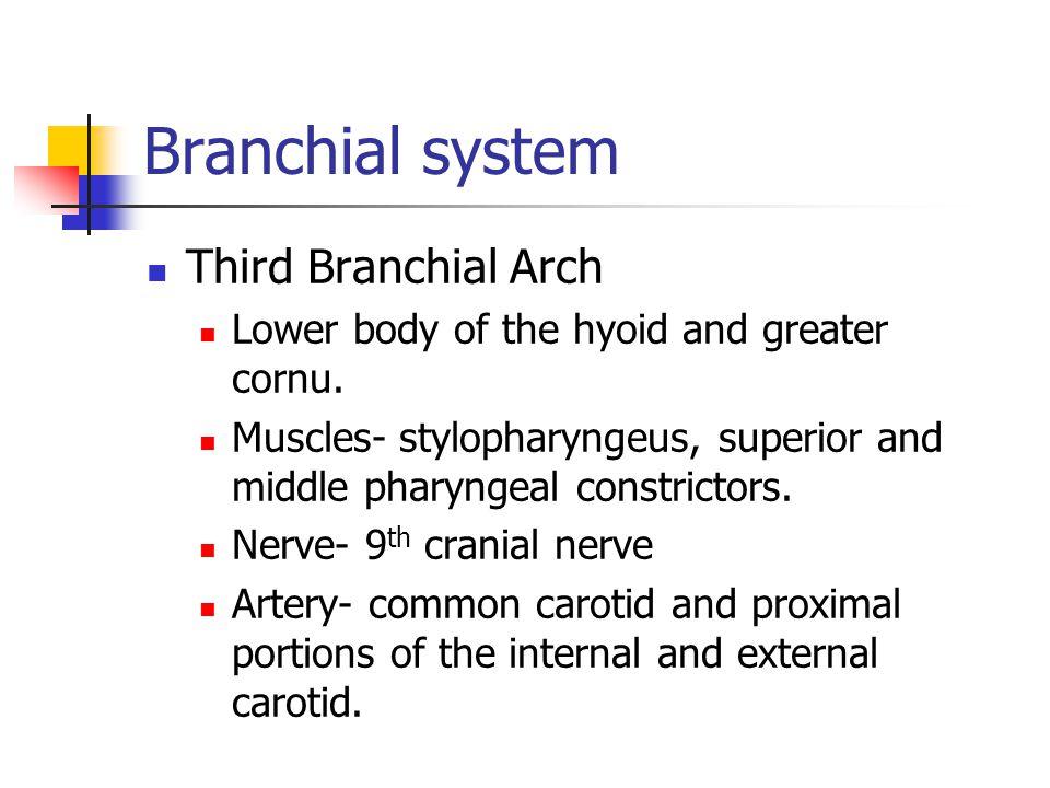Branchial system Third Branchial Arch