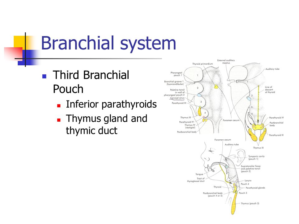 Branchial system Third Branchial Pouch Inferior parathyroids