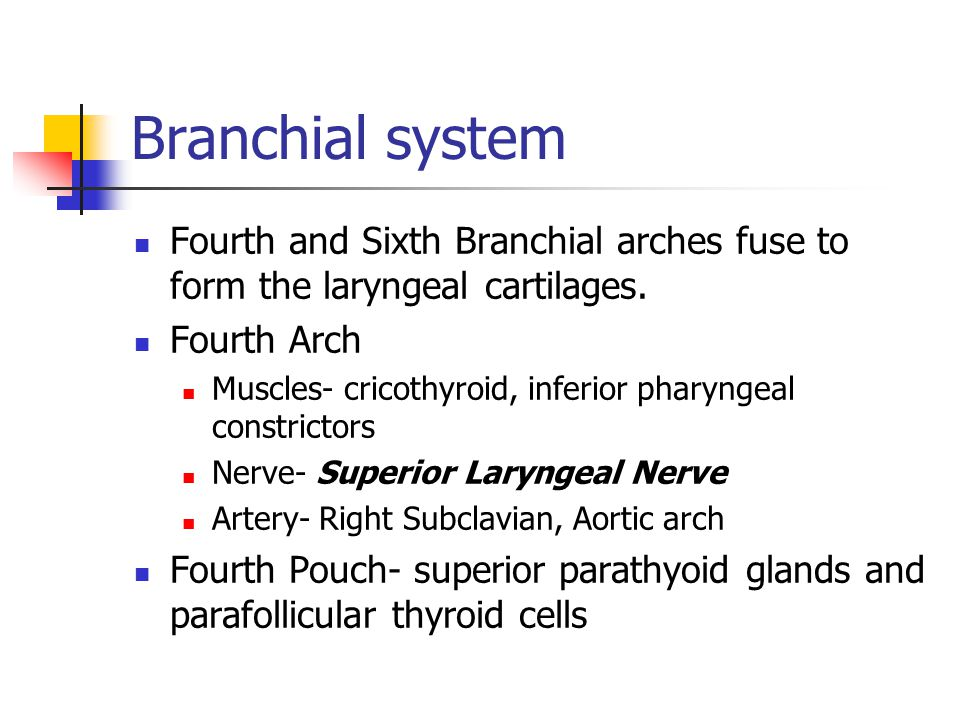 Branchial system Fourth and Sixth Branchial arches fuse to form the laryngeal cartilages. Fourth Arch.