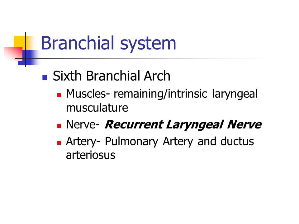 Branchial system Sixth Branchial Arch