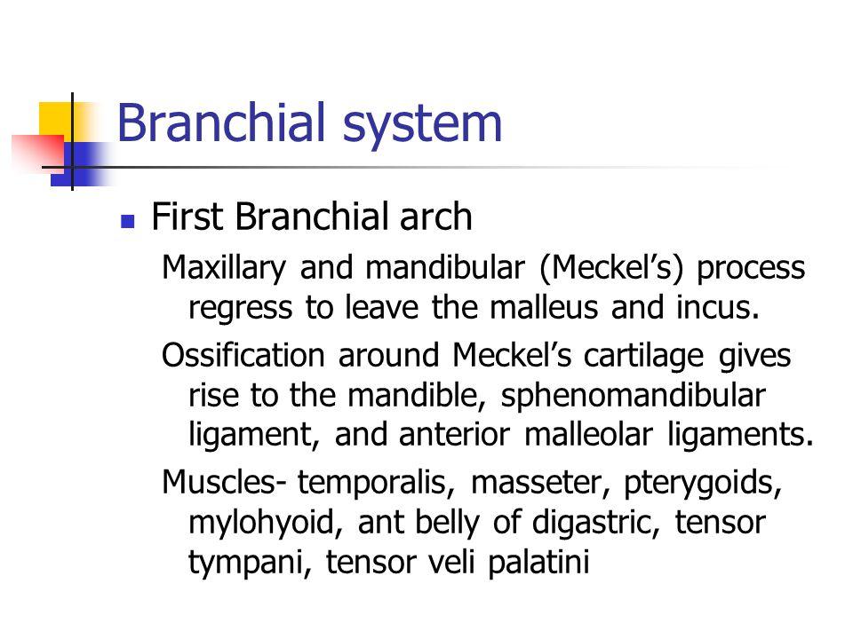 Branchial system First Branchial arch