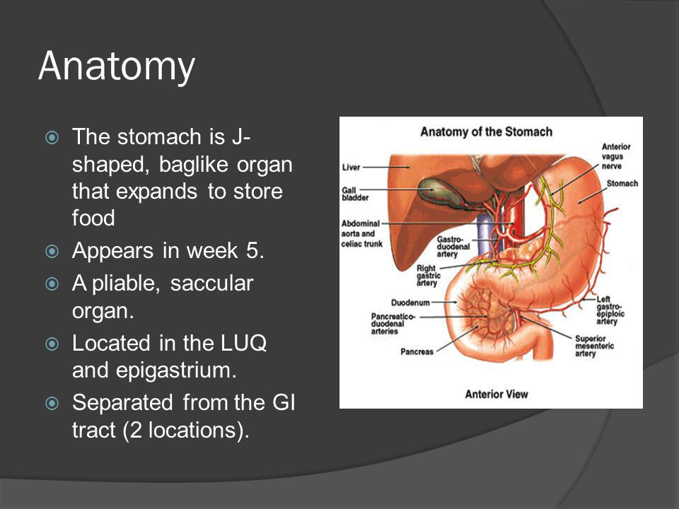 Anatomy The stomach is J-shaped, baglike organ that expands to store food. Appears in week 5. A pliable, saccular organ.