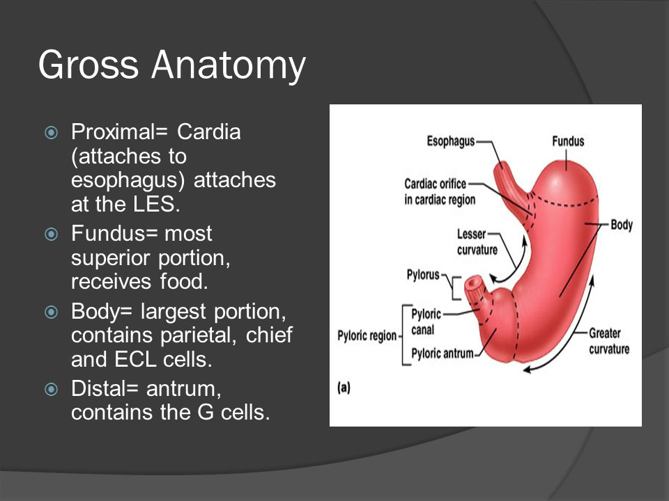 Gross Anatomy Proximal= Cardia (attaches to esophagus) attaches at the LES. Fundus= most superior portion, receives food.