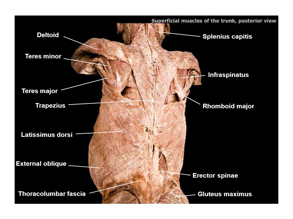deltoid splenius capitis teres minor infraspinatus teres major, Human body