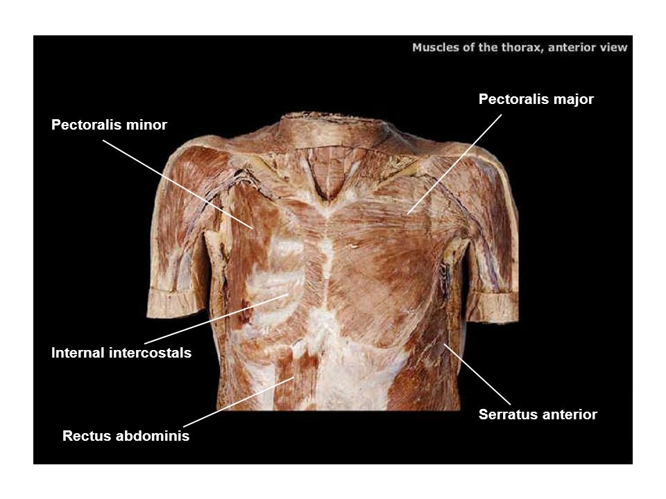 Pectoralis major Pectoralis minor Internal intercostals Serratus anterior Rectus abdominis