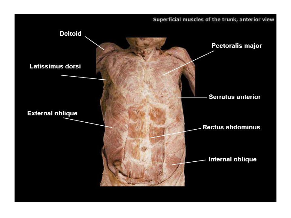 Deltoid Pectoralis major. Latissimus dorsi. Serratus anterior. External oblique. Rectus abdominus.