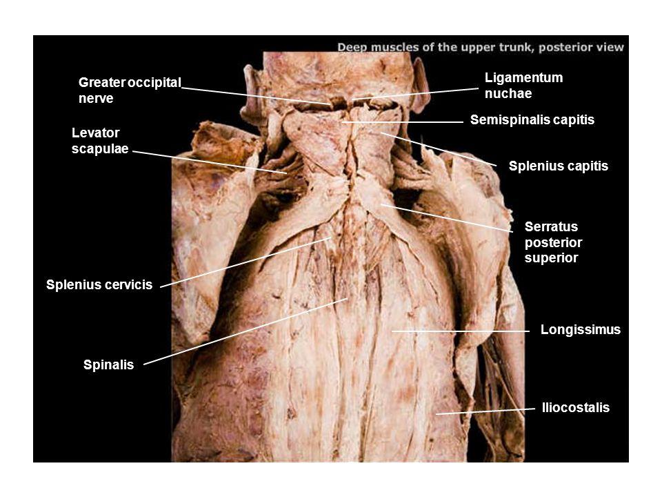 Ligamentum nuchae Greater occipital nerve. Semispinalis capitis. Levator scapulae. Splenius capitis.