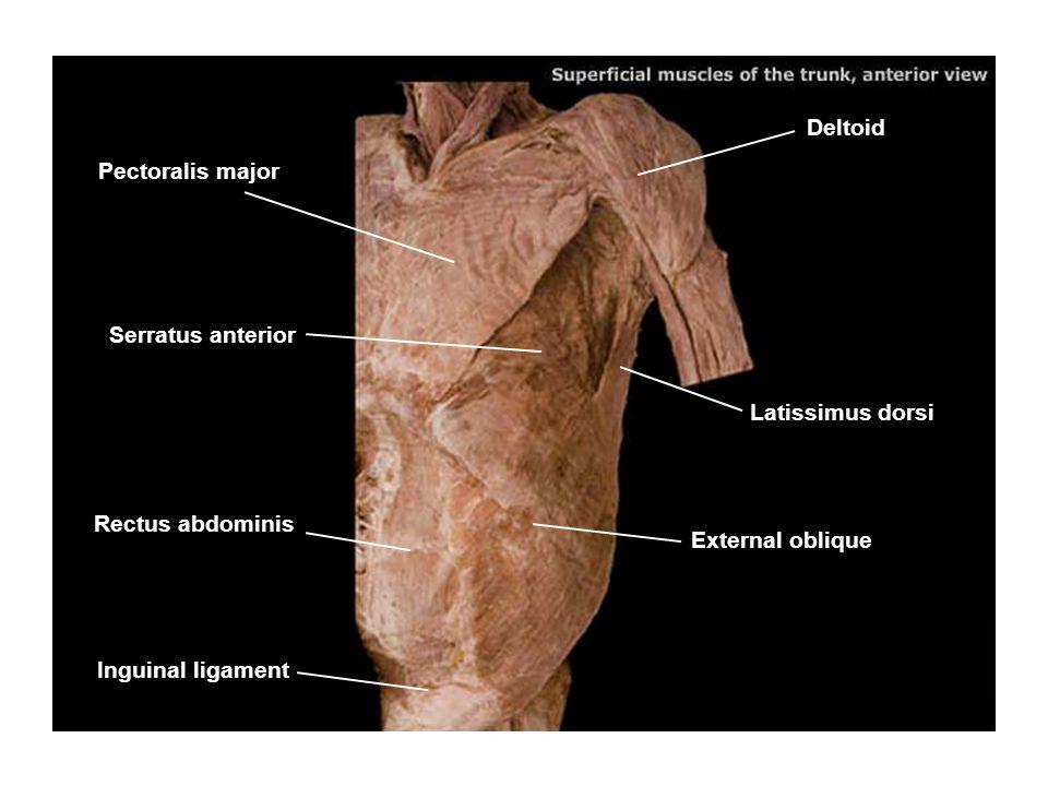 Deltoid Pectoralis major. Serratus anterior. Latissimus dorsi. Rectus abdominis. External oblique.