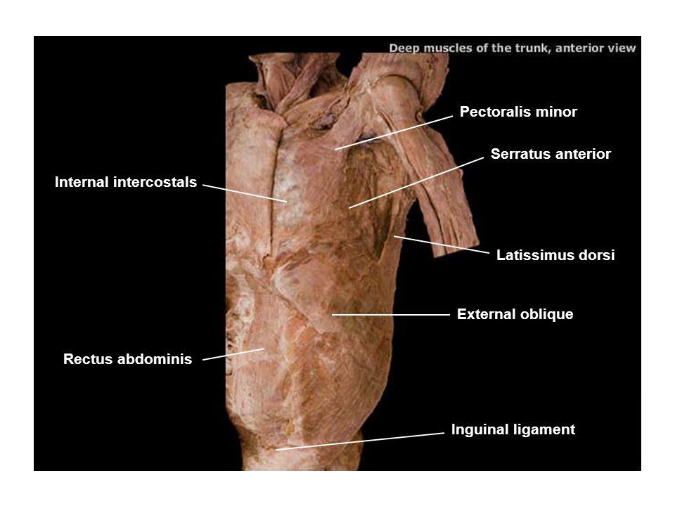 Pectoralis minor Serratus anterior. Internal intercostals. Latissimus dorsi. External oblique. Rectus abdominis.