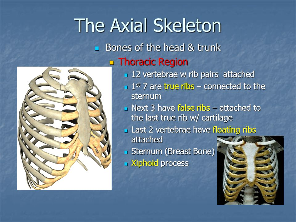 The Axial Skeleton Bones of the head & trunk Thoracic Region