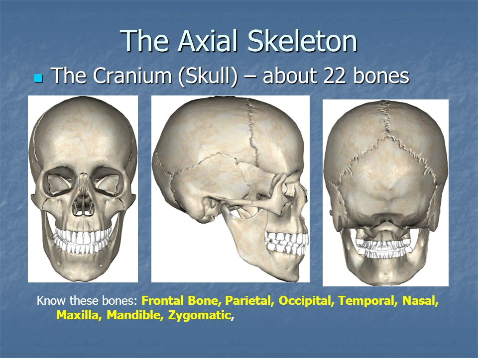 The Axial Skeleton The Cranium (Skull) – about 22 bones