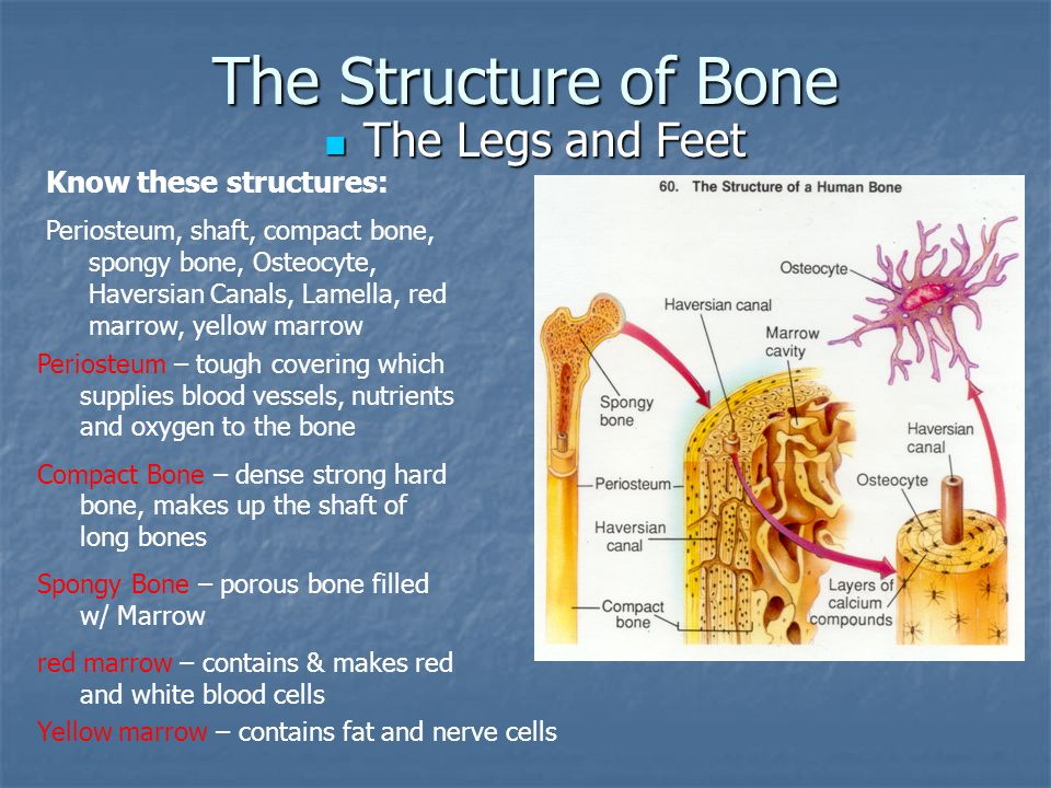 The Structure of Bone The Legs and Feet Know these structures: