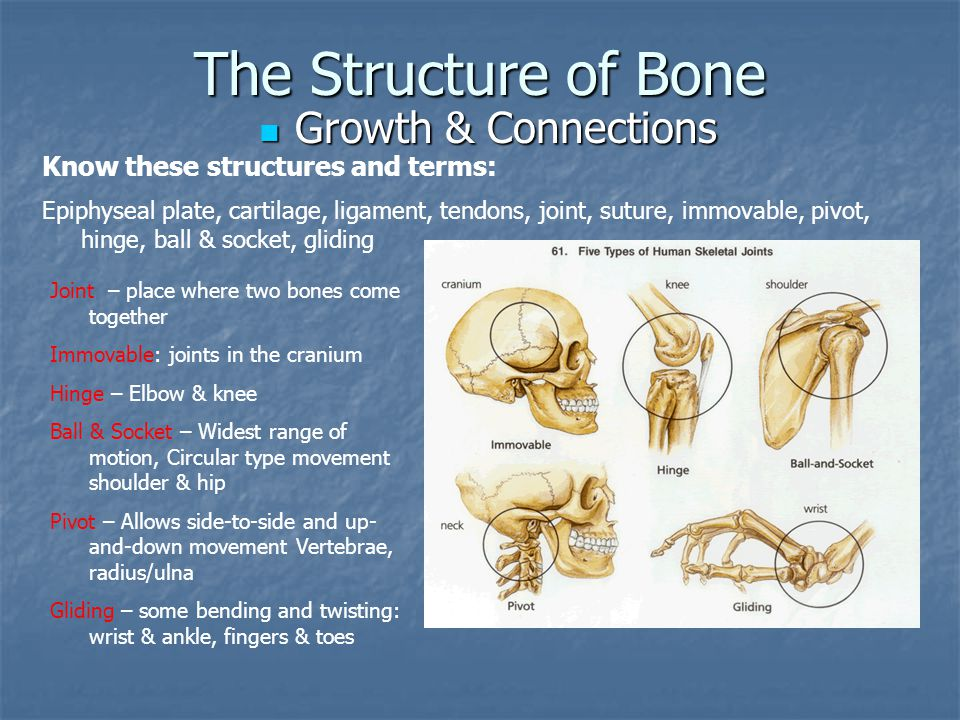 The Structure of Bone Growth & Connections