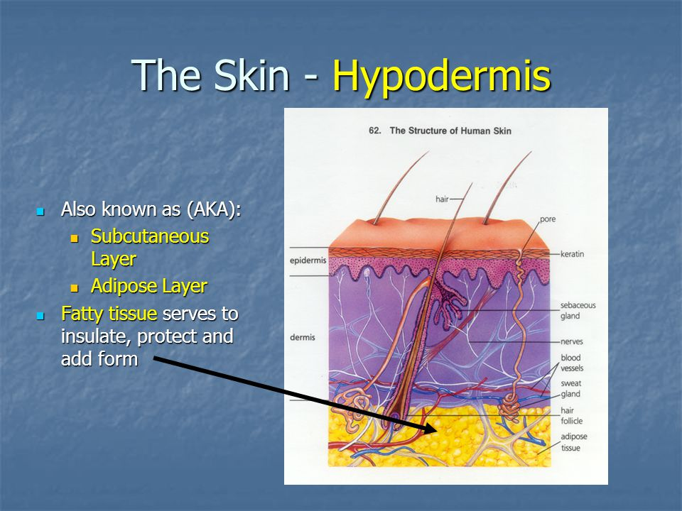 The Skin - Hypodermis Also known as (AKA): Subcutaneous Layer