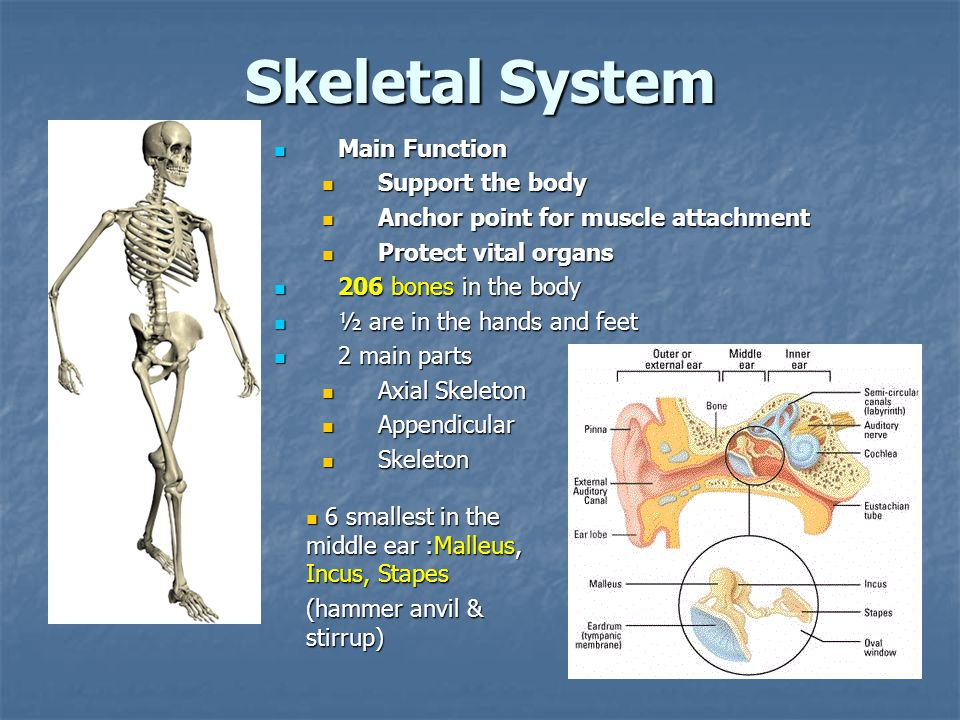 Skeletal System Main Function Support the body