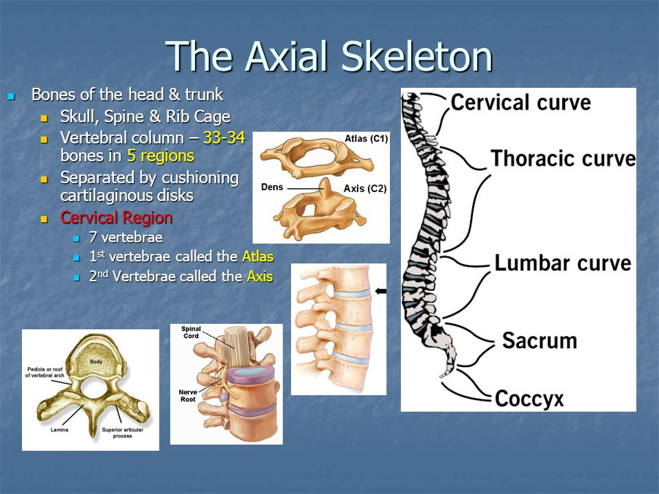 The Axial Skeleton Bones of the head & trunk Skull, Spine & Rib Cage