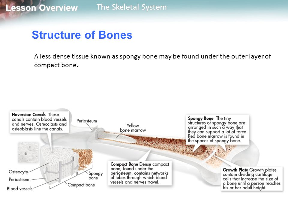 Structure of Bones A less dense tissue known as spongy bone may be found under the outer layer of compact bone.