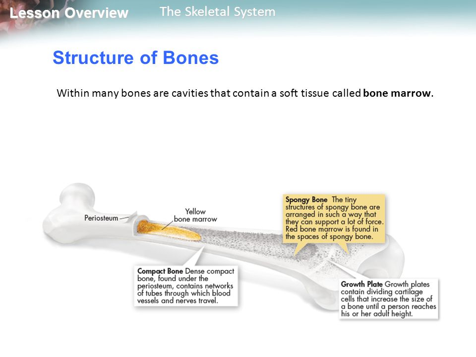 Structure of Bones Within many bones are cavities that contain a soft tissue called bone marrow.