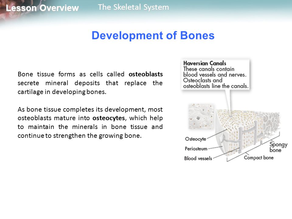 Development of Bones Bone tissue forms as cells called osteoblasts secrete mineral deposits that replace the cartilage in developing bones.