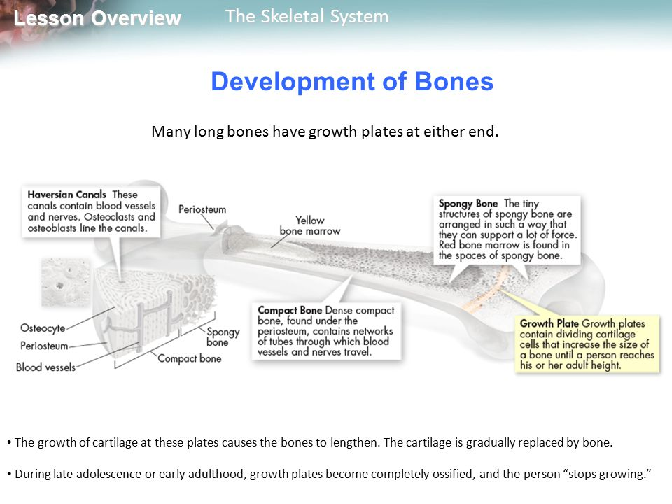 Many long bones have growth plates at either end.