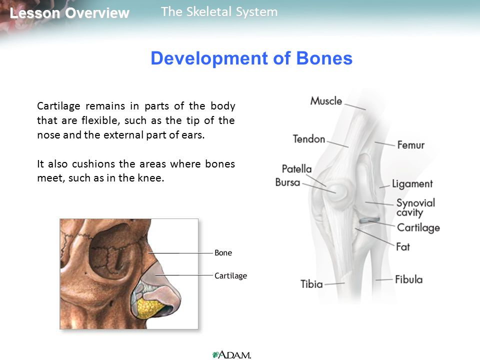 Development of Bones Cartilage remains in parts of the body that are flexible, such as the tip of the nose and the external part of ears.