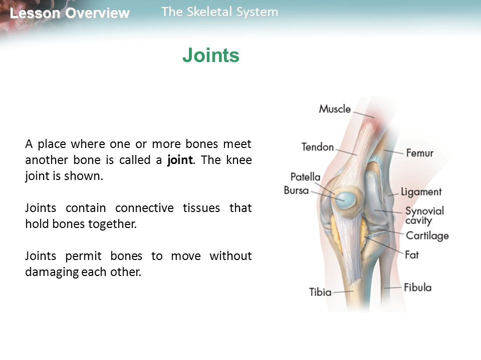 Joints A place where one or more bones meet another bone is called a joint. The knee joint is shown.