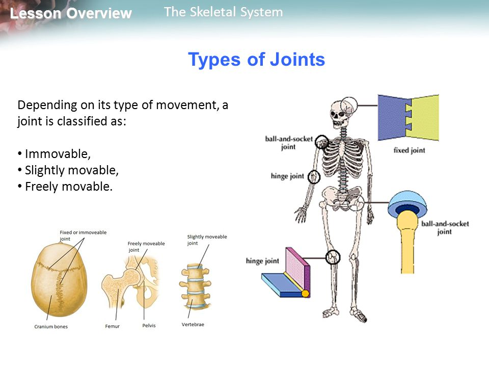 Types of Joints Depending on its type of movement, a joint is classified as: Immovable, Slightly movable,