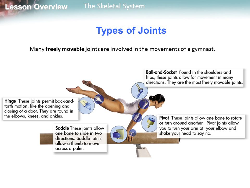 Types of Joints Many freely movable joints are involved in the movements of a gymnast.